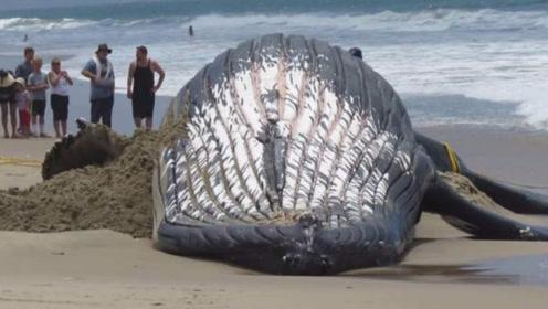 搁浅的鲸鱼为什么不能靠近呢?有人非不信邪,不料结果悲剧了!