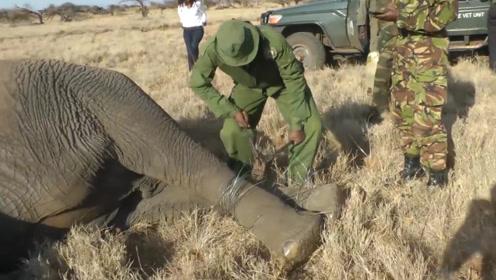 大象双腿被铁丝绑住,躺在地上奄奄一息,难道生命就此结束了吗