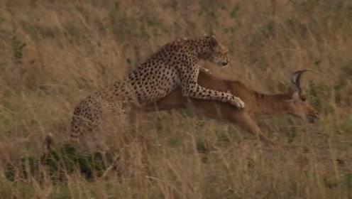 美洲豹捕食羚羊,还忍不住戏耍了一番,猫科动物都是如此吗