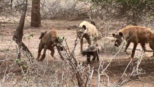 3只鬣狗惹谁不好,偏要去惹平头哥,结果吃不了兜着走!