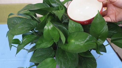 """家里养绿萝,经常给它喝""""3种水"""",绿萝长得快又绿,轻松爆满盆"""