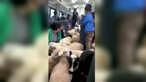 不瞒你说,我长这么大第一次在火车上见到羊