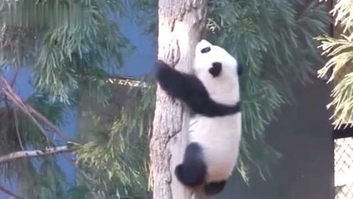 熊猫宝宝螺旋式下树法,小屁屁一扭一扭的真是可爱