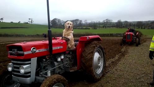 一只会开拖拉机的金毛,每天帮着主人耕地收割,操作娴熟