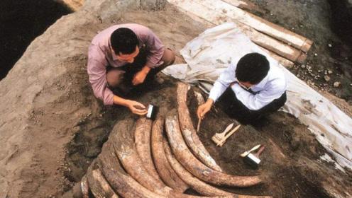 我国四川金沙挖到象牙,挖到一半,专家喊道:埋掉迅速撤退!