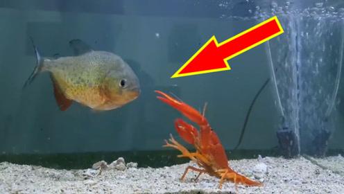 饿了5天的食人鱼,放进去只小龙虾,5秒后场面失控!