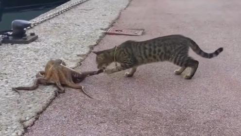猫咪遇见一只章鱼,咬了一口后,神奇的事发生了!