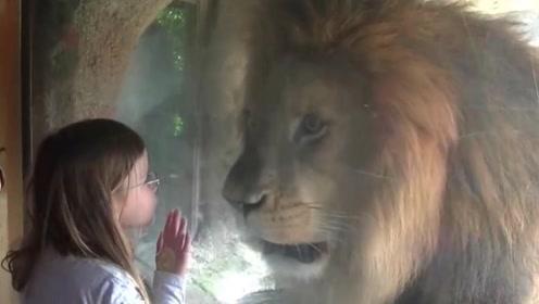 小女孩在动物园,隔着玻璃对狮子轻轻一吻,结果狮子反应这样激烈