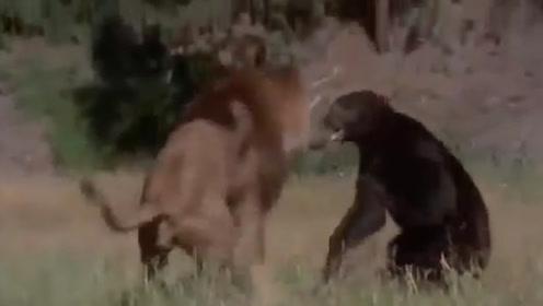 300斤熊误闯狮子领地,狮子大开杀戒,场面激烈,镜头拍下全程