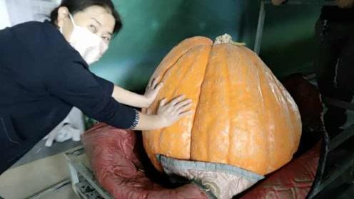 5名壮汉抬出巨型南瓜,1个月狂长200斤:口感不好宜当饲料