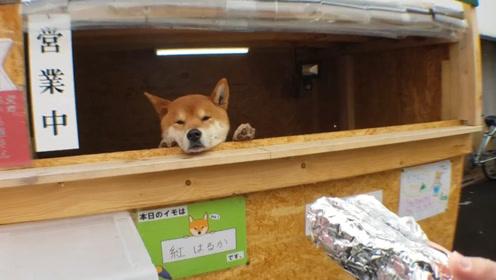 """日本""""柴犬红薯店""""风靡全国,无数游人慕名而去,找钱却成大难题"""