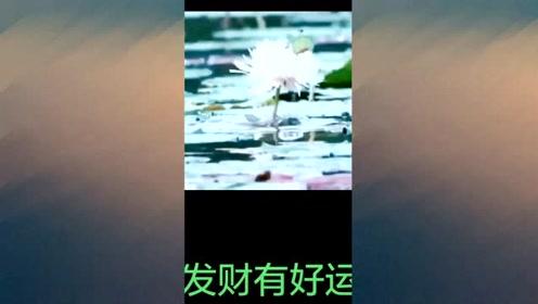 鲤鱼戏莲,百年难得一见,祝刷到的朋友发财,走好运!