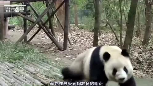 为啥熊猫咬伤人后,开始不吃不喝,难道是生病了