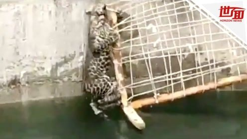 """豹子失足跌落深井 救援人员拿出特质梯子搭救""""落汤""""豹"""