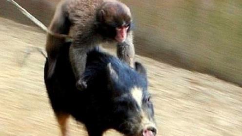非洲人捉野猪有奇招,竟放猴子追击,镜头拍下过程!