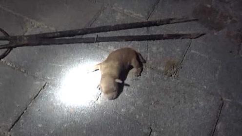 母狗产狗后不要娃?小奶狗困路缝中,路过消防钻进洞中救起