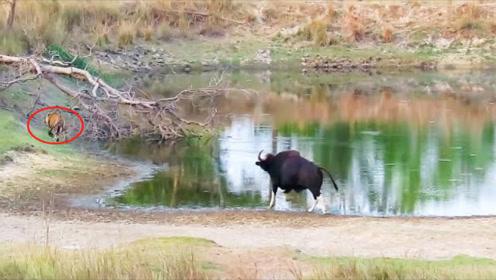 这头牛太狂了,见老虎在喝水,非要冲过去揍老虎