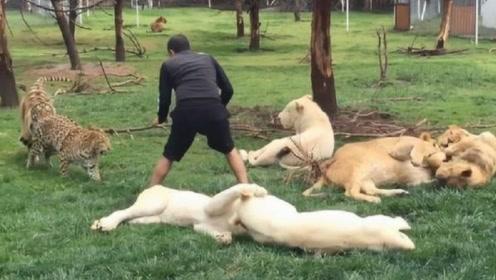 猎豹捕杀饲养员,不料被老虎一巴掌拍懵,老虎:你动一下试试!