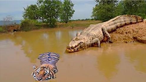 老虎不愧为百兽之王,当着鳄鱼的面抢它的食物