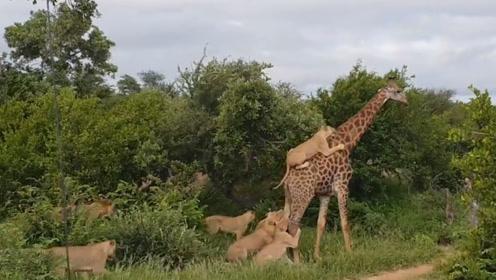 被6头狮子撕咬4小时,却淡定吃树叶的长颈鹿,忍无可忍决定反击