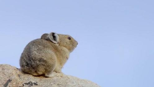 人们认为鼠兔是草场退化的元凶,被当害兽捕猎,结果却被打脸