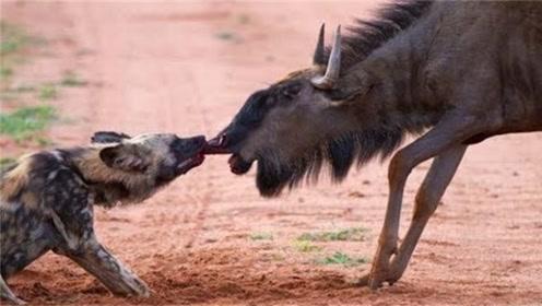 角马惨遭野狗群包围,逃脱无果被分而食之,镜头记下全程!