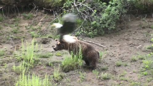 老鹰饿的老眼昏花,奔着棕熊就扑了过来,飞近后发现情况不对