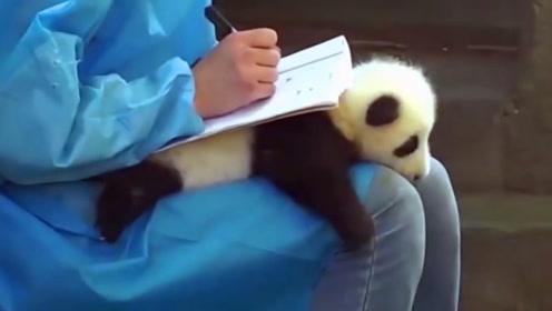 饲养员把熊猫当做桌垫,温馨画面看傻老外,太羡慕了!