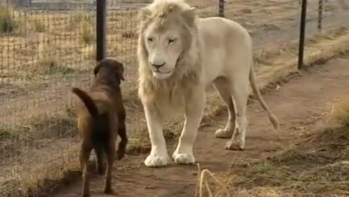 当狗狗遇到狮子是什么样子,没想到还挺亲切,真是没谁了!