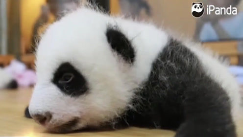 """萌出一脸血,史上最具""""分量""""的熊猫小崽子来啦"""