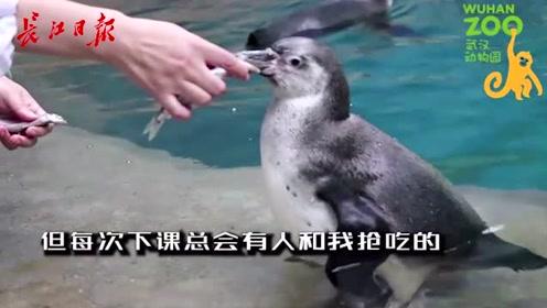 粘人精?高冷咖?家住汉阳的新生企鹅崽性格大不同