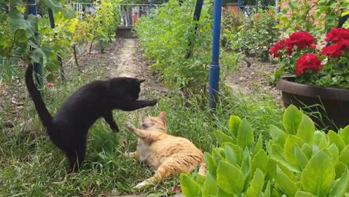 黑猫偷袭橘猫,人家怎么招惹你了,总要偷袭人家