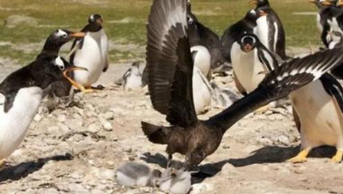 贼鸥对着企鹅尾巴不停啄,不料扭头一口吞掉小企鹅,原来另有目的