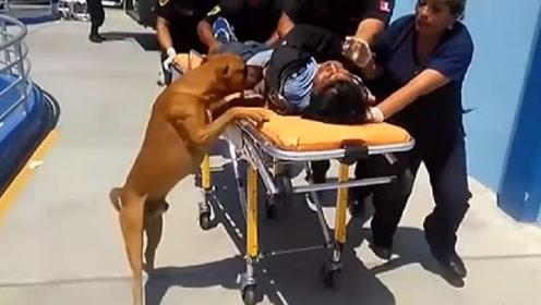 主人意外晕倒,接下来狗狗的举动让人泪目,网友:没白养!