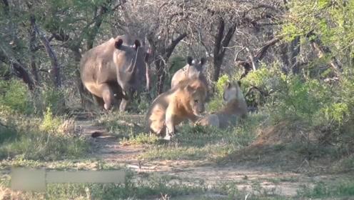 犀牛带孩子觅食途中,却遭遇两头午休的狮子,结局出乎意外