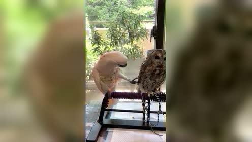 热情鹦鹉遇上高冷猫头鹰,像不像#哄生气女友的你#?