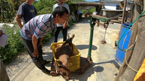 农村办喜事买羊宰杀,7只花费10000多元,贵不贵?