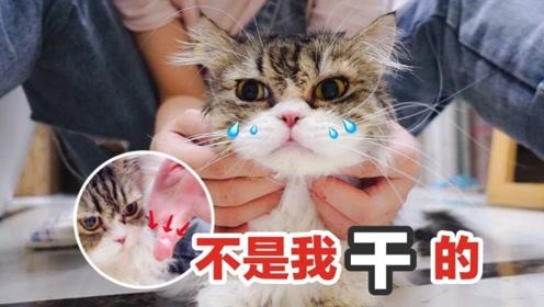 短腿猫拒绝洗澡但不拒绝零食,最后边哭边吃的样子太惨了:我好难