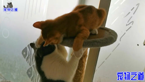 原住猫不愿跟新来小猫玩,竟遭到狂揍,乖巧的样子让主人心疼了