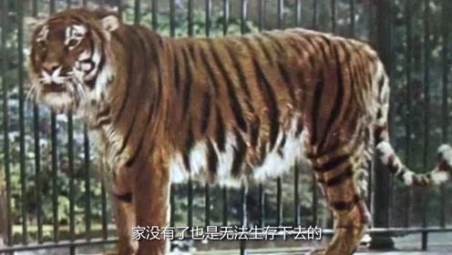 老虎一旦灭绝,对人类的影响到底有多大?新疆的教训至今难忘!