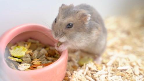仓鼠在猫窝生存是种什么体验?实版猫和老鼠大作战,简直难以置信