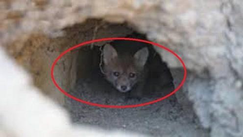为何狐狸喜欢在人类墓地做洞穴?难道要成精了?村里老人说出真相