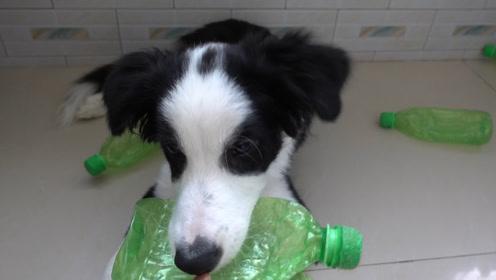 """主人家的狗狗号称饮料瓶""""摧毁者"""",看看它把塑料瓶啃成什么样了"""