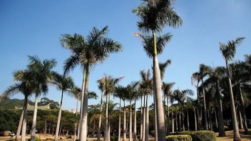 最招人喜欢的椰子树,不仅可以长出椰子,甚至还能结大米