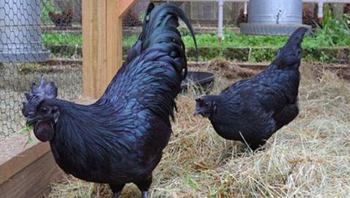 """世界上""""最黑""""的鸡,许多收藏家梦寐以求,一般人吃不起!"""