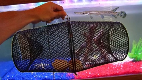 凶猛的尖嘴鳄变成了宠物,在鱼缸里,它还能那么嚣张吗?
