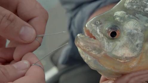 食人鱼的小尖牙有多恐怖?老外用特级铁丝测试,结果一口解决