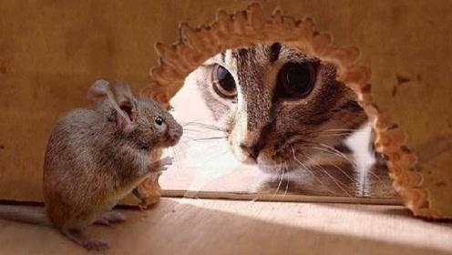 猫气势汹汹去捉老鼠,不料老鼠强势反击,追的猫满大街跑