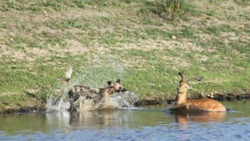 野狗群围攻羚羊到水中,下一秒悔不当初,在水中的羚羊战斗力爆表