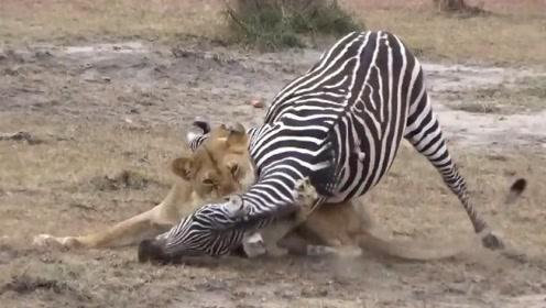 斑马被狮子锁喉,要不是斑马机智,今天就要交代在这了